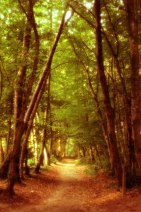 Path under the woods canopy